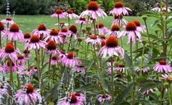 Echinacea - immunerosito